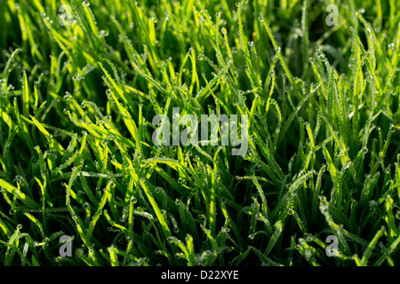 A close up of grass with dew. - Stock Image
