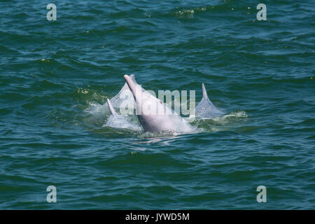 Indo-Pacific Humpback Dolphin (Sousa chinensis) socializing in Hong Kong waters. This coastal species is subject to increasing threats from humans. - Stock Image