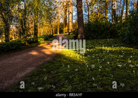 Snowdrops in dappled woodland shade at Cliveden, Buckinghamshire, UK - Stock Image