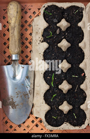 Growing seedlings in an egg carton. - Stock Image