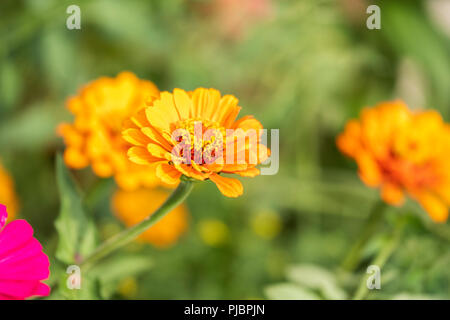 Golden orange colored Zinnia elegans growing in a flower bed in Oklahoma, USA. - Stock Image