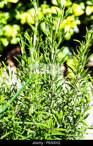Rosmarinus officinalis, commonly known as rosemary, is a woody, perennial herb, rosemary plant, rosemary herb, rosemary, herb, herbs. plant, plants, - Stock Image
