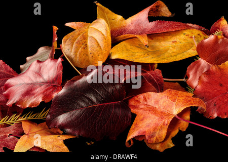 Colorful Fall / Autumn Leaves on a black background - Stock Image