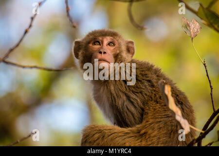 Close up portrait of an adult wild Rhesus macaque, Macaca mulatta, looking up, Bandhavgarh National Park, Madhya - Stock Image