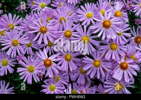 Symphyotrichum novi-belgii (formerly Aster novi-belgii) is typically found in wet meadows. It is native to eastern N. America but widely naturalised. - Stock Image