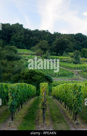 Lines of fresh green growing vines at a hillside vineyard. - Stock Image
