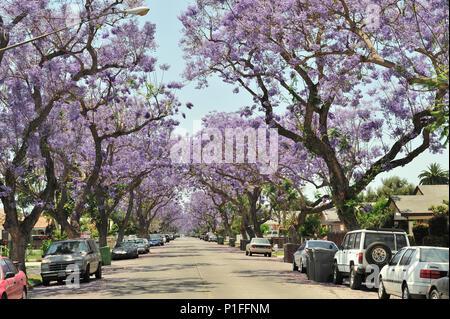 Jacaranda mimosifolia, Blue Jacaranda; Myrtle Street, Santa Ana, CA; 080528_30490 - Stock Image