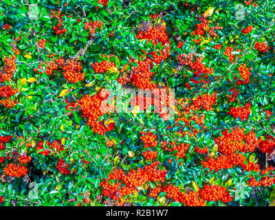 Pyracantha / Firethorn hedge with red berries (pomes) - France. - Stock Image