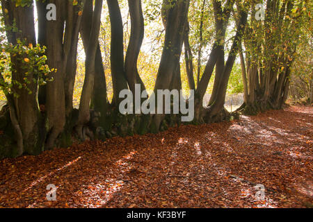 rows of beech trees (fagus sylvatica) in the ancient woods at Devils Punchbowl, the largest spring-sapped valley - Stock Image