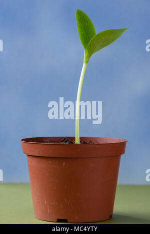 Squash Shoot in plant pot - Stock Image