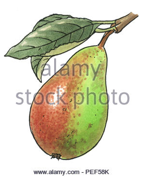 good quality pear - Stock Image