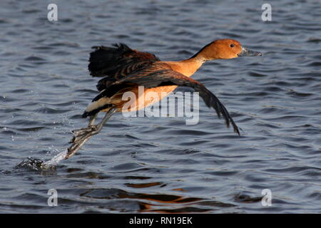 Fulvous whistling duck (Dendrocygna bicolor) taking off into  flight. - Stock Image
