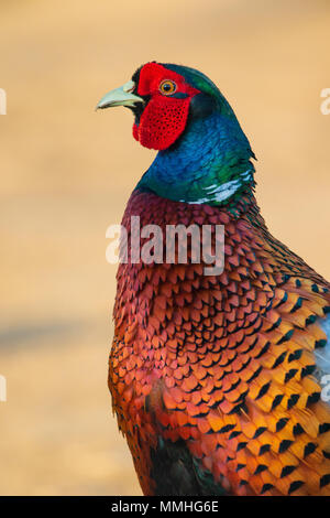headshot of a male Ring-necked Pheasant (Phasianus colchicus) - Stock Image
