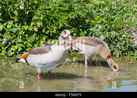 Pair of Egyptian geese (Alopochen aegyptiaca) standing in shallow water while drinking in Spring in West Sussex, England, UK. Egyptian goose. - Stock Image