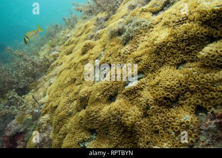 Palythoa caribaeorum coral from SE Brazil, Ilhabela. - Stock Image