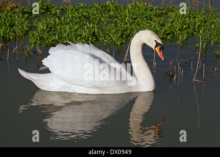 Male Mute Swan (Cygnus olor) in spring - Stock Image