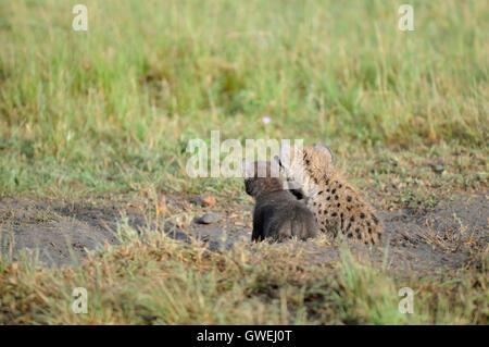 Two baby hyenas cuddling. - Stock Image