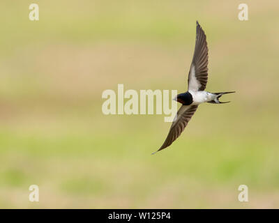 A Single Swallow (Hirundo rustica) flies low over field catching insects, Pembrokeshire, Wales - Stock Image