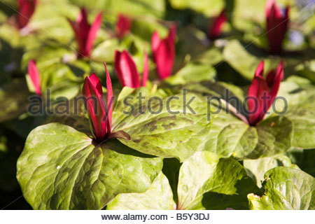 TRILLIUM SESSILE WOOD LILY - Stock Image