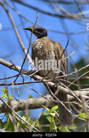 An Australian, Queensland Noisy Friarbird ( Philemon corniculatus ) resting perched on a tree branch - Stock Image