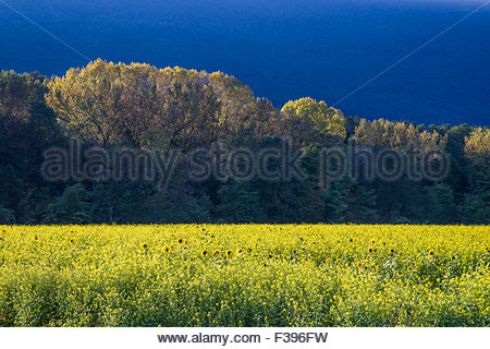 Colza flower field at sunset - Stock Image