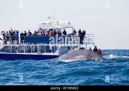 Humpback Whale Megaptera novaeangliae Tourists whale watching - Stock Image