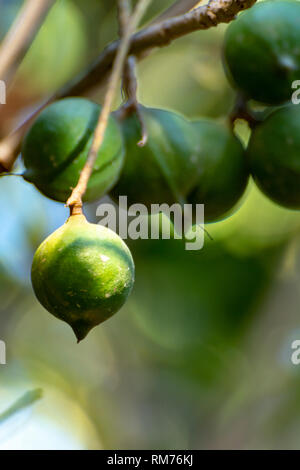 Ripe tropical macadamia nuts handing on macadamia tree ready for harvest close up - Stock Image