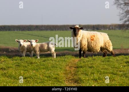 Pevensey Levels, UK. 30th Mar 2019. UK weather.  Sheep graze on a sunny afternoon on the Pevensey Levels in East Sussex, UK. Credit: Ed Brown/Alamy Live News - Stock Image