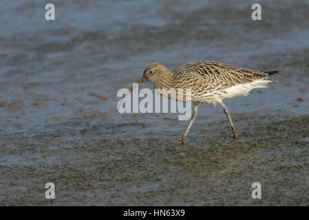 Eurasian curlew (Numenius arquata) feeding on intertidal mudflats. Norfolk, England. November. - Stock Image