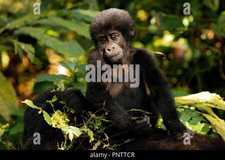 Baby Gorilla (Gorilla beringei beringei) Riding Mothers Back. Bwindi Impenetrable National Park, Uganda - Stock Image