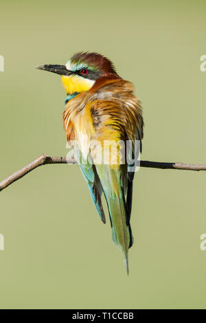 Male  European bee-eater, Latin name Merops apiaster, perched on a branch in warm lighting with dirt on its beak from digging out a nest hole - Stock Image