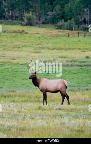 Wapiti Bull Elk with Antlers in Velvet near Estes Park, Colorado, USA - Stock Image