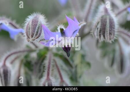 Starflower / Borretsch, Borage, Borago officinalis, Gurkenkraut - Medicinal Herb - gamma linoleic acid. - Stock Image