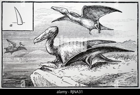 An engraving depicting the reconstruction of the Rhamphorphychus, showing an individual at A. Dated 19th century - Stock Image