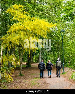People walking in Ness Island with colourful Laburnum tree in bloom,  Inverness, Scotland, UK - Stock Image