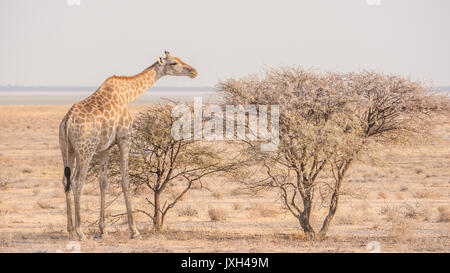 One adult giraffe eating from thorn trees in beautiful light. Etosha National Park, Namibia. - Stock Image