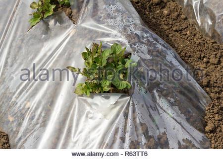Potato plants growing through polythene - variety is Casablanca - Stock Image