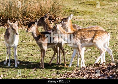 Fallow Deer Fawns at Knole Park, Kent, UK - Stock Image