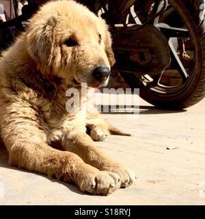 Old dog and motorbike - Stock Image