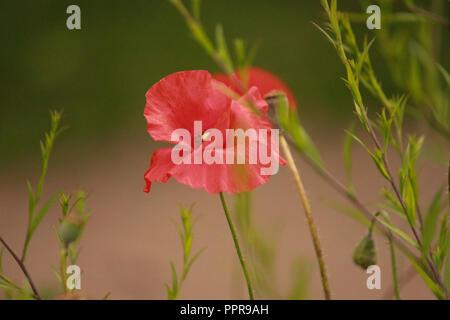 lone poppy - Stock Image