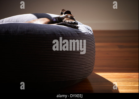 Staffordshire Terrier Cross - Stock Image