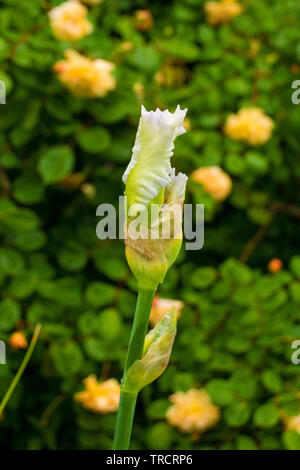 A white iris preparing to flower growing in a garden in north east Italy. Orange roses can be seen in the background - Stock Image