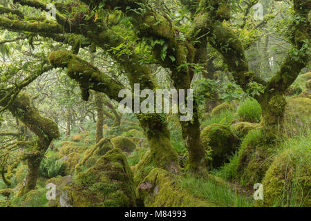 Gnarled and twisted oak trees in Wistman's Wood, Dartmoor, Devon, England. Summer (July) 2017. - Stock Image