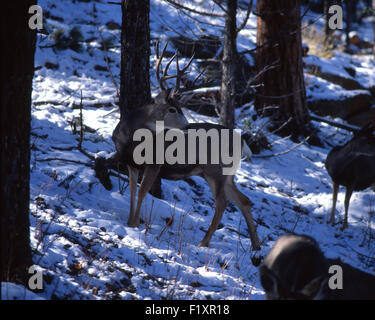 Mule Deer Winter - Stock Image
