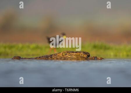 Nile crocodile (Crocodylus niloticus) in the water with a black crake (Amaurornis flavirostra) on the bank, Zimanga private game reserve, KwaZulu-Nata - Stock Image