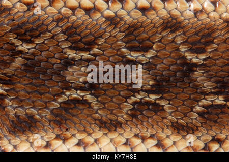 Closeup of pattern on saw-scaled Viper, Echis carinatus, Tamil Nadu, South India - Stock Image