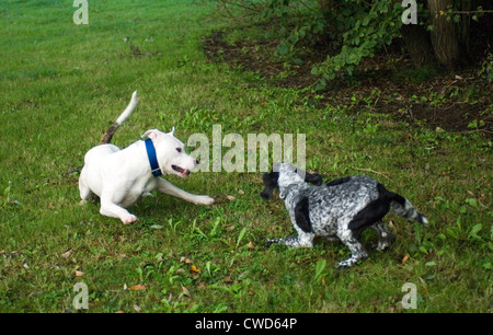 two dogs playing - Stock Image