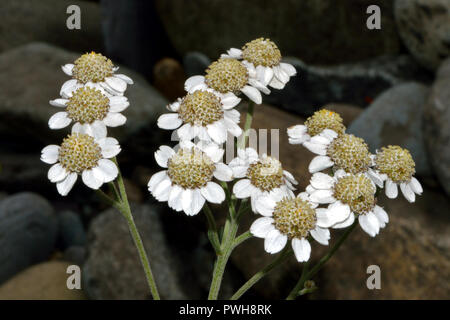 Achillea ptarmica (sneezewort) is a European species found in damp acidic grassland often beside streams. It has edible leaves. - Stock Image