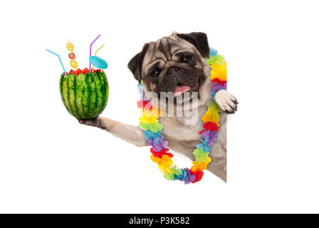 frolic summer pug dog with hawaiian flower garland, holding watermelon cocktail with umbrella and straws, isolated on white background - Stock Image
