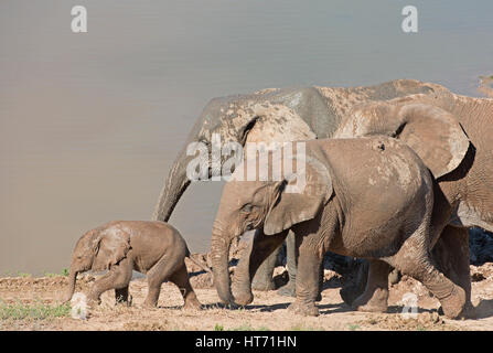 Elephant herd with mud walking with baby - Stock Image